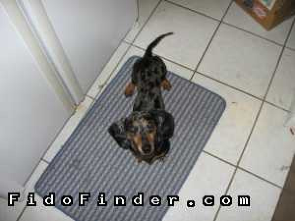 Safe Dachshund in Crosby, TX US