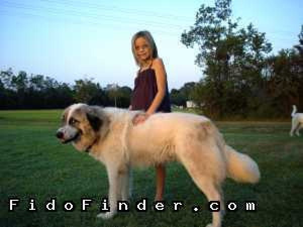 Safe Great Pyrenees in Jeanerette, LA US