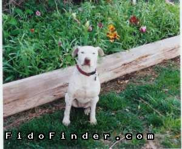 Safe American Staffordshire Terrier in Mesa, AZ US