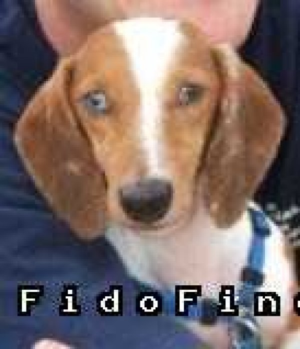 Safe Dachshund in Georgetown, TX US