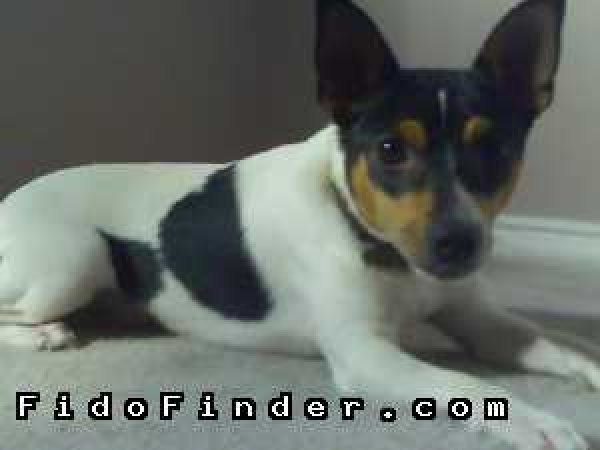 Safe Rat Terrier in Arlington, TX US
