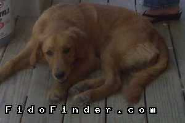 Safe Golden Retriever in Houston, TX US
