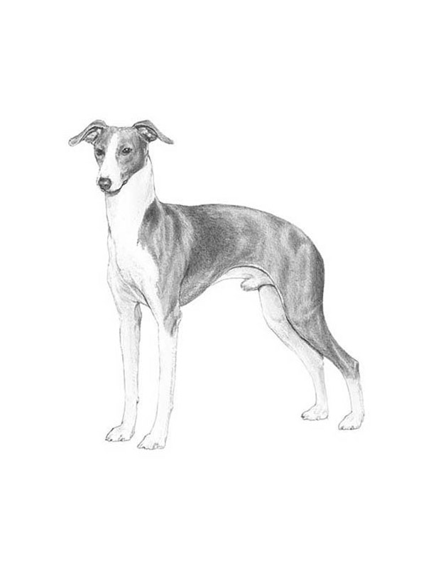 Safe Italian Greyhound in Scottsdale, AZ US