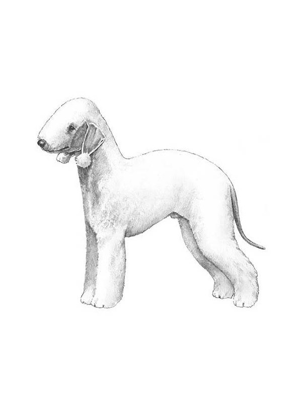Safe Bedlington Terrier in Paterson, NJ US