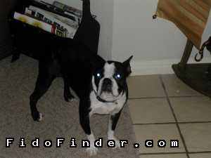 Safe Boston Terrier in Houston, TX US