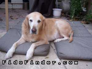 Safe Golden Retriever in Dallas, TX US