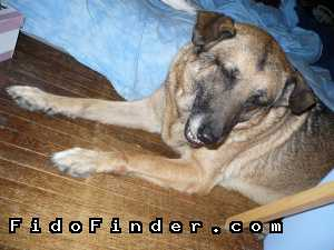 Safe German Shepherd Dog in North Hollywood, CA US