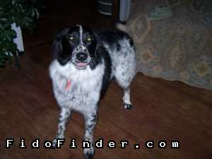 Safe Australian Shepherd in Oklahoma City, OK US