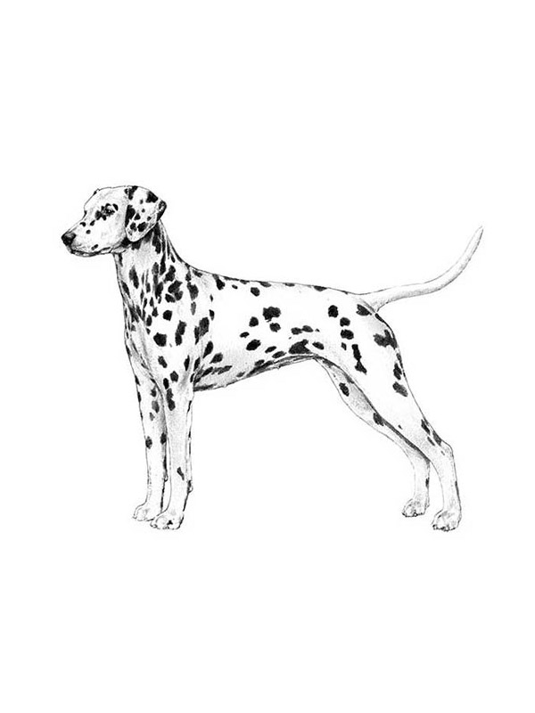 Safe Dalmatian in Tomball, TX US