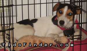 Safe Jack Russell Terrier in Poth, TX US