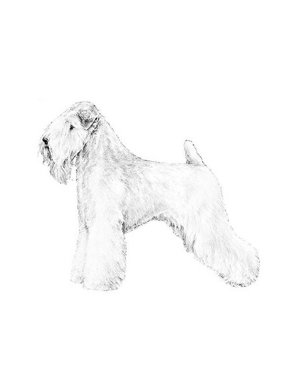 Safe Soft Coated Wheaten Terrier in Norwalk, CT US