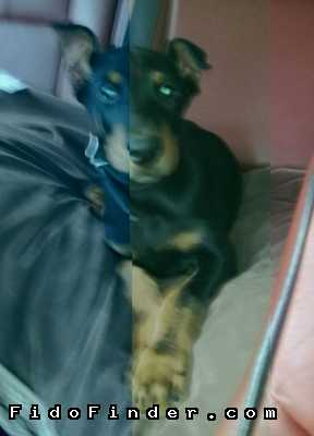 Safe Doberman Pinscher in Lemont, IL US