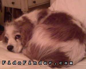 Safe Cavalier King Charles Spaniel in Los Angeles, CA US