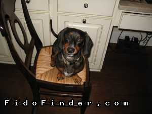 Safe Dachshund in Ponte Vedra Beach, FL US