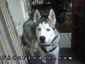 Safe Siberian Husky in Tolleson, AZ US