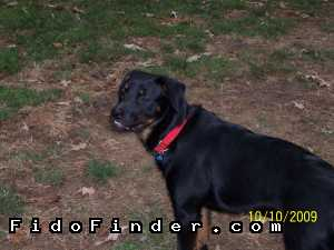 Safe Rottweiler in Richmond, VA US