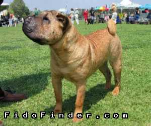Safe Chinese SharPei in Annapolis, MD US