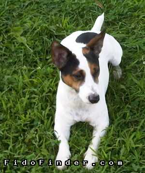 Safe Jack Russell Terrier in Langhorne, PA US
