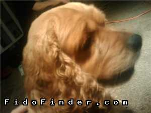 Safe Cocker Spaniel in Garden Grove, CA US