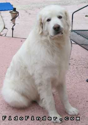 Safe Great Pyrenees in Houston, TX US