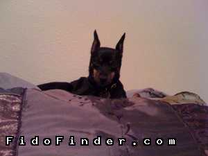 Safe Miniature Pinscher in Pearland, TX US