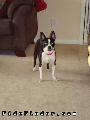 Safe Boston Terrier in Sugar Land, TX US