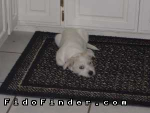 Safe West Highland White Terrier in Yukon, OK US