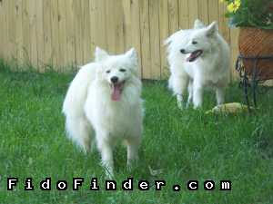 Safe American Eskimo Dog in Gambrills, MD US