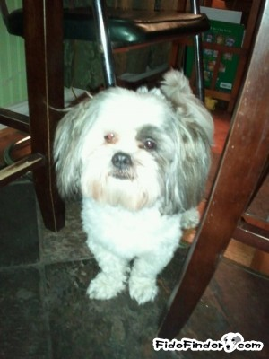 Safe Shih Tzu in Dallas, TX US