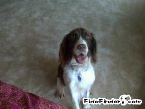 Safe English Springer Spaniel in Springfield, VA US