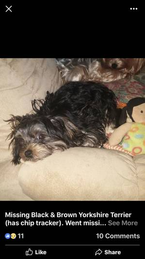 Lost Yorkshire Terrier in Cape Coral, FL US
