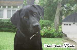 Stolen Labrador Retriever in Houston, TX US