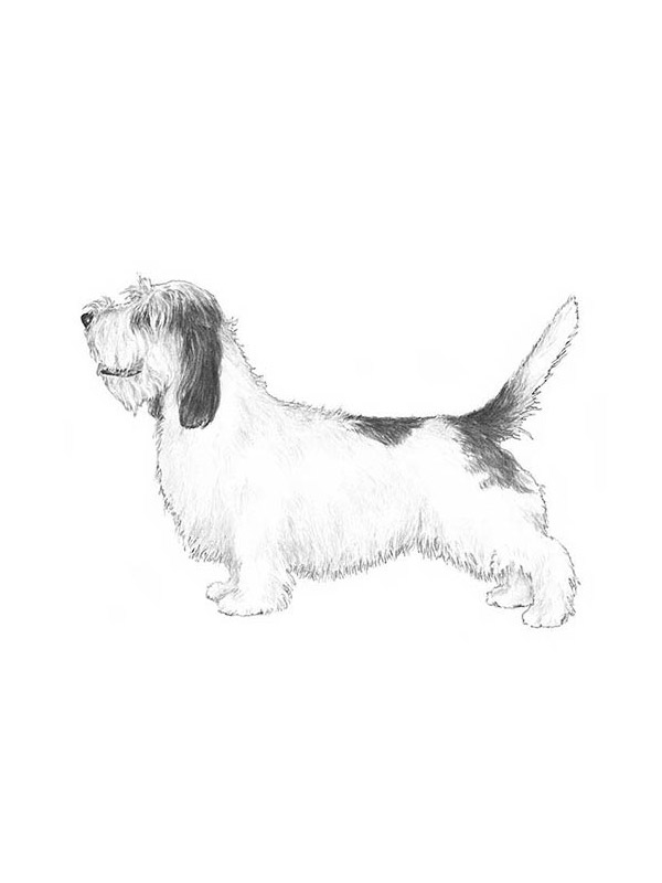 Safe Petit Basset Griffon Vendeen in Chicago, IL US