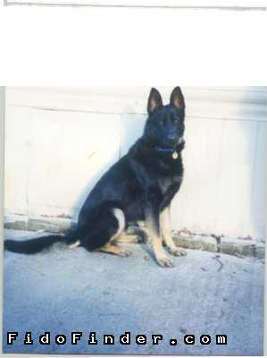 Safe German Shepherd Dog in Englewood, FL US