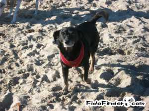 Safe Dachshund in Huntington Beach, CA US