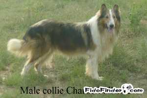 Safe Collie in Cottondale, AL US