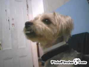 Safe Yorkshire Terrier in Providence, RI US