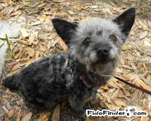 Safe Yorkshire Terrier in Jacksonville, FL US