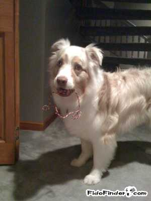 Safe Australian Shepherd in Chicago, IL US