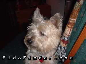 Safe Cairn Terrier in Lees Summit, MO US