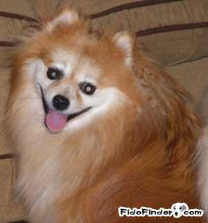 Safe Pomeranian in Pittsburgh, PA US