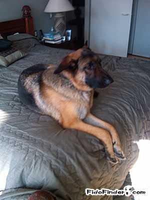 Lost German Shepherd Dog in Pound Ridge, NY US