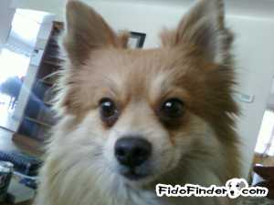 Safe Pomeranian in Arvada, CO US