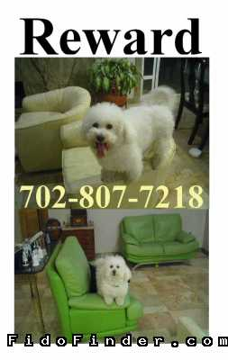 Safe Bichon Frise in Las Vegas, NV US