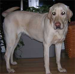 Safe Labrador Retriever in North Olmsted, OH US