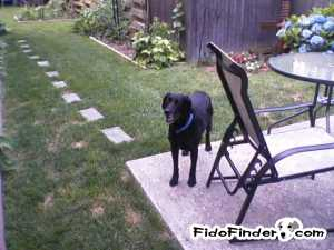 Safe Labrador Retriever in East Meadow, NY US