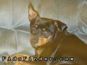 Safe Miniature Pinscher in Phoenix, AZ US