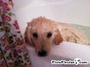 Safe Golden Retriever in Sharpsburg, GA US