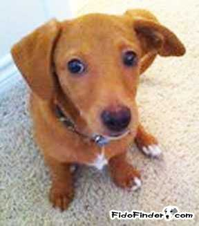 Safe Dachshund in Houston, TX US