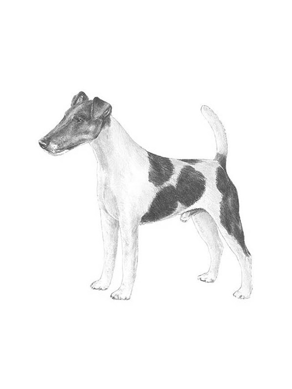 Safe Smooth Fox Terrier in Indianapolis, IN US